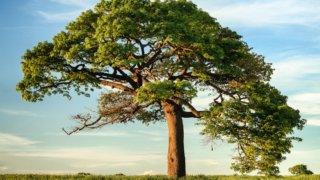 大きく幅広で垂れ下がっている木